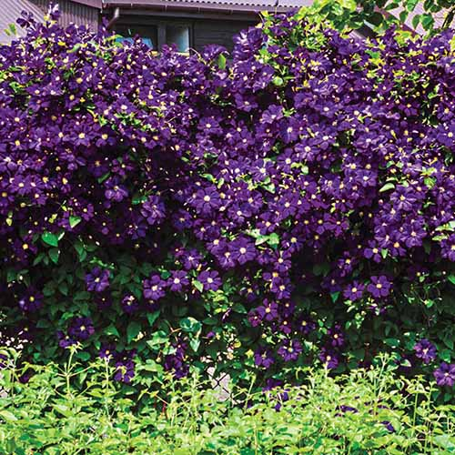 A large 'Estelle Violette' clematis vine with hundreds of purple flowers contrasting with the green leaves in bright sunlight with a house in the background.