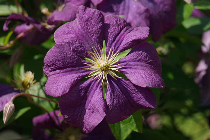 A close up of a deep purple 'Etoile Violette' flower with pale filaments in the center, in bright sunshine on a soft focus background.