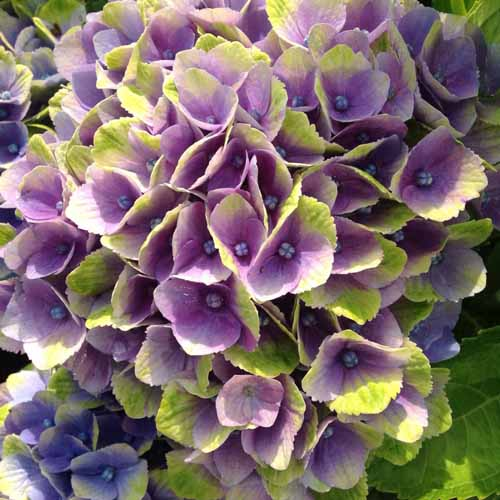 Everlasting Amethyst Hydrangea with purple and lime green blooms.
