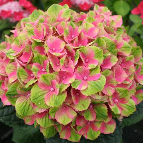 Everlasting Amethyst Hydrangea with pink and lime green blooms.