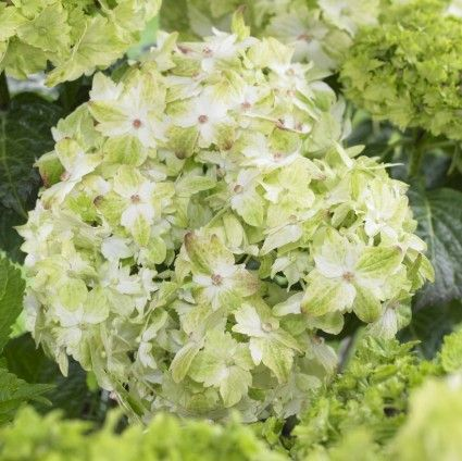 A close up square image of 'Everlasting Jade' Hydrangea growing in the garden pictured on a soft focus background.