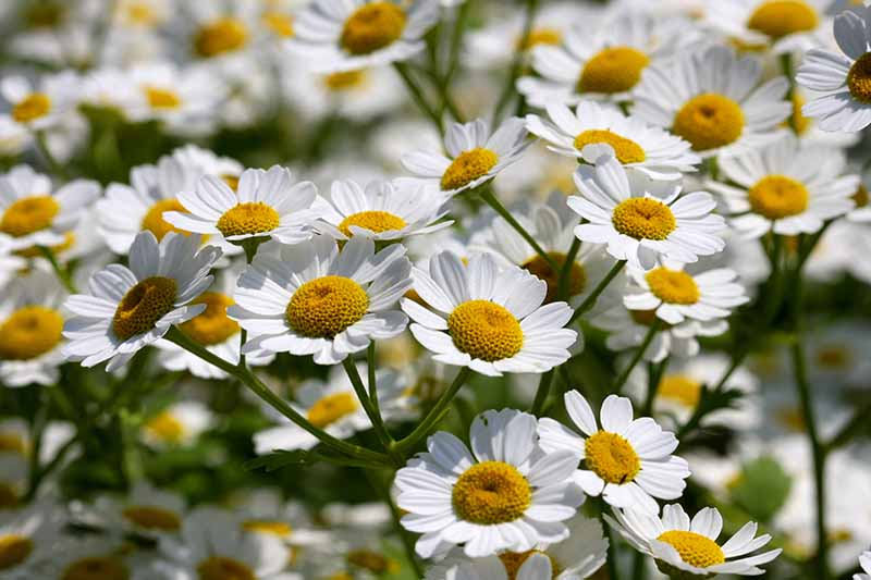 A close up of white feverfew flowers with contrasting yellow centers, growing in the garden in bright sunshine. The background fades to soft focus.