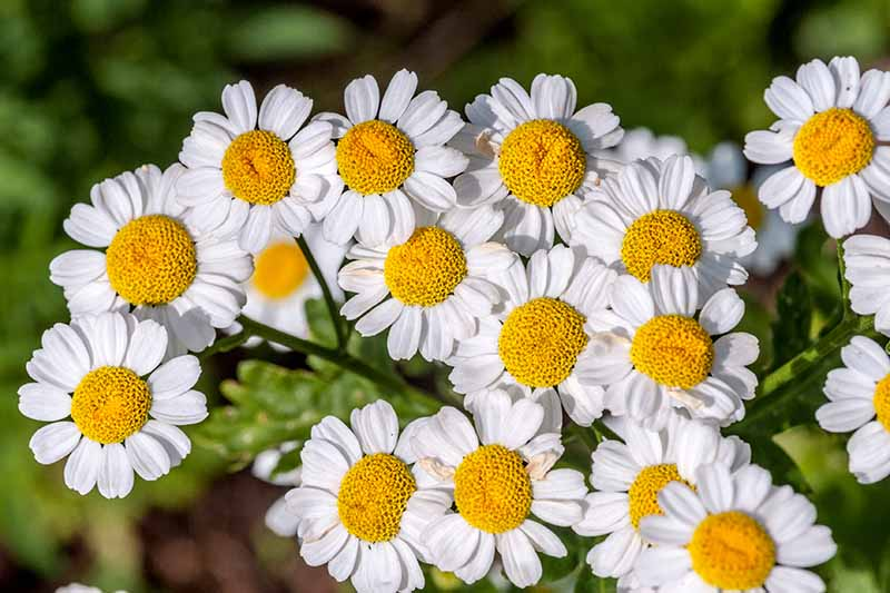 A close up of white feverfew flowers with their contrasting yellow centers on a soft focus dark background.