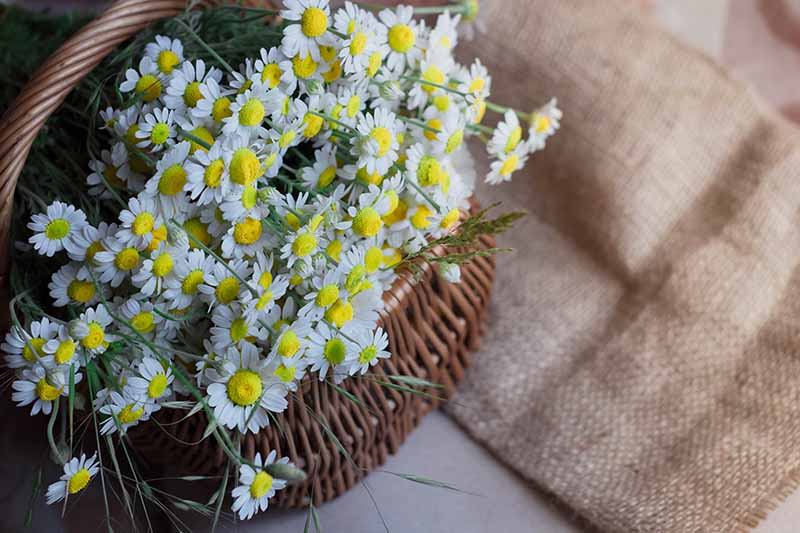 A close up of freshly harvested Tanacetum parthenium flowers with white petals and yellow centers, in a wicker basket with a rustic woven cloth next to it on a white background.