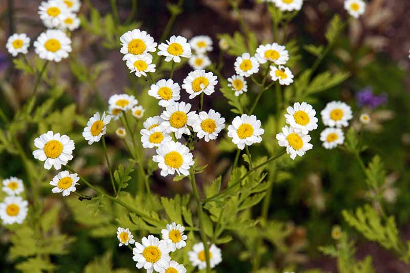 A close up of a feverfew plant, in full bloom with its white and yellow flowers growing in the garden in light sunshine.