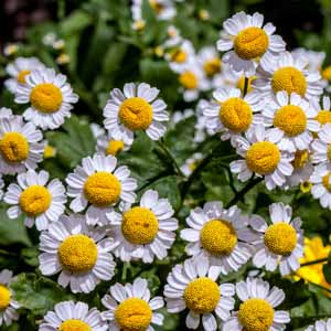 Feverfew growing in a herb garden with white flowers and yellow centers.