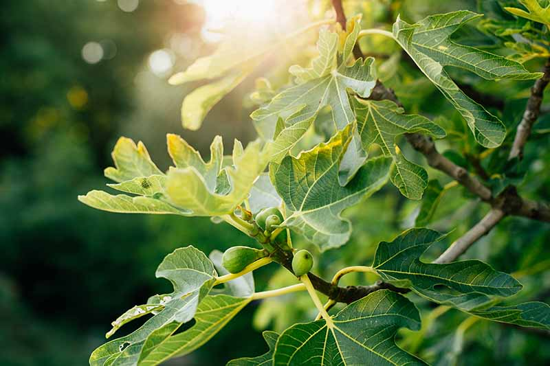 A close up of a fig tree branch with small green unripe fruits, and large flat dark green leaves on a soft focus background with filtered sunlight.