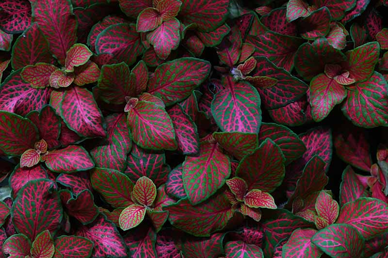 A close up of a fittonia plant with dramatic leaves in combinations of purple, green, and pink.