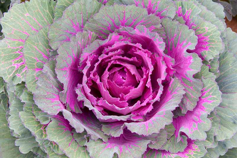 A top down close up of a flowering Brassica oleracea var. acephala plant with bright purple leaves in the center and light green on the outside with purple veins.
