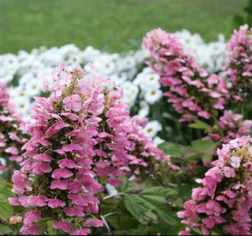 A close up square image of the pink flowers of Gatsby Pink® oakleaf hydrangea in bloom in the garden, pictured on a soft focus background.