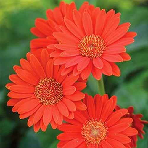 A close up of bright red gerbera 'Garvinea Sweet Glow' flowers with delicate petals contrasting with the soft focus green background.