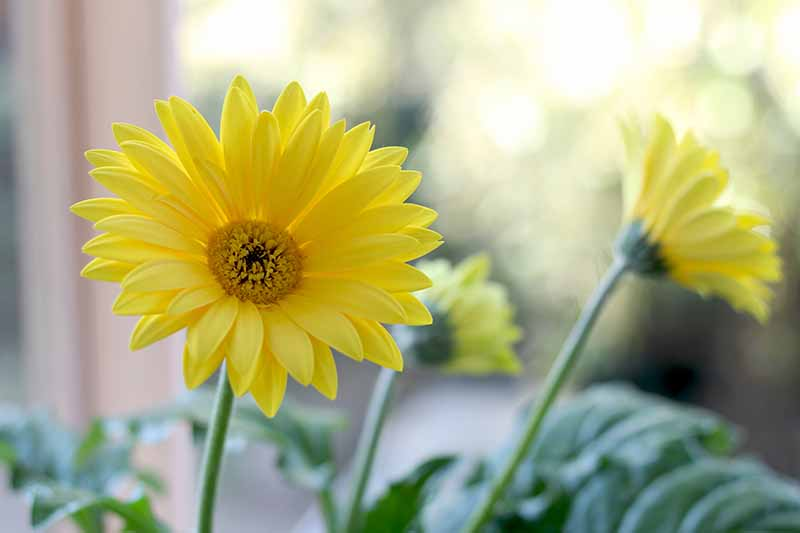A close up of a yellow gerbera flower with dainty petals on a soft focus background.