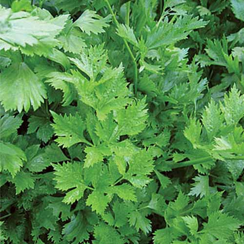 A close up of 'Gigante D'Italia' variety of parsley with bright green flat leaves.