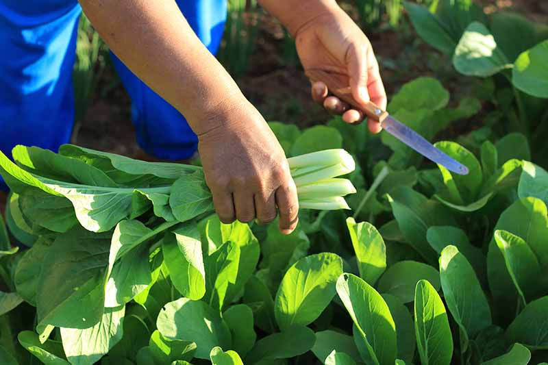 Two hands from the left of the frame, one holding a knife, harvesting bok choy leaves from the garden, in bright sunshine.