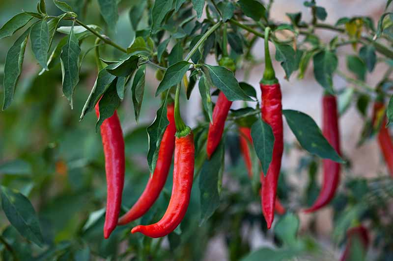 A close up of red chili peppers growing on a plant, the bright vibrant color of the fruit contrasting with the dark green leaves on a soft focus background.