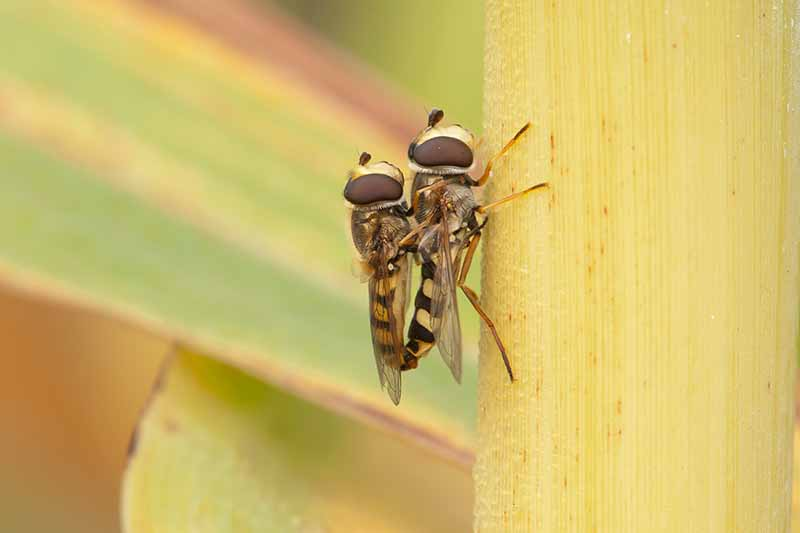 A close up picture of two yellow and black striped hover flies on a yellow sorghum stalk, fading to soft focus in the background.