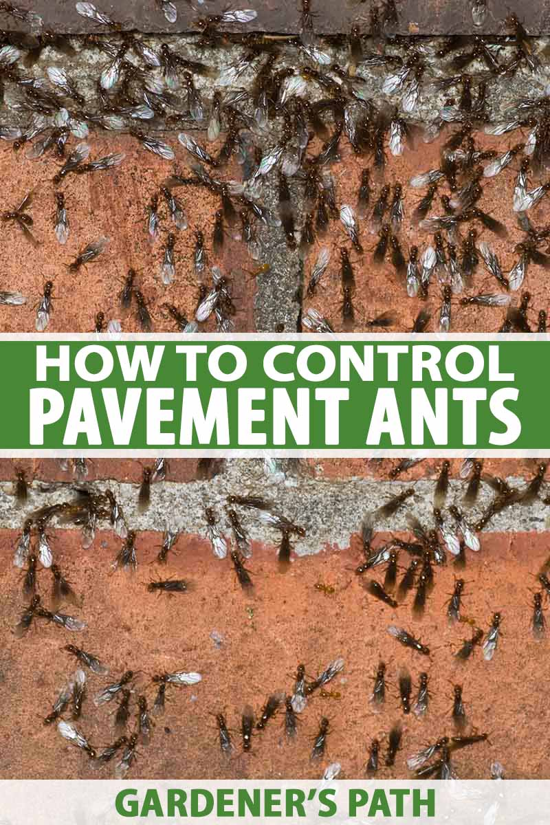 A close up of a brick wall with thousands of swarming, winged pavement ants. To the center and bottom of the frame is green and white text.