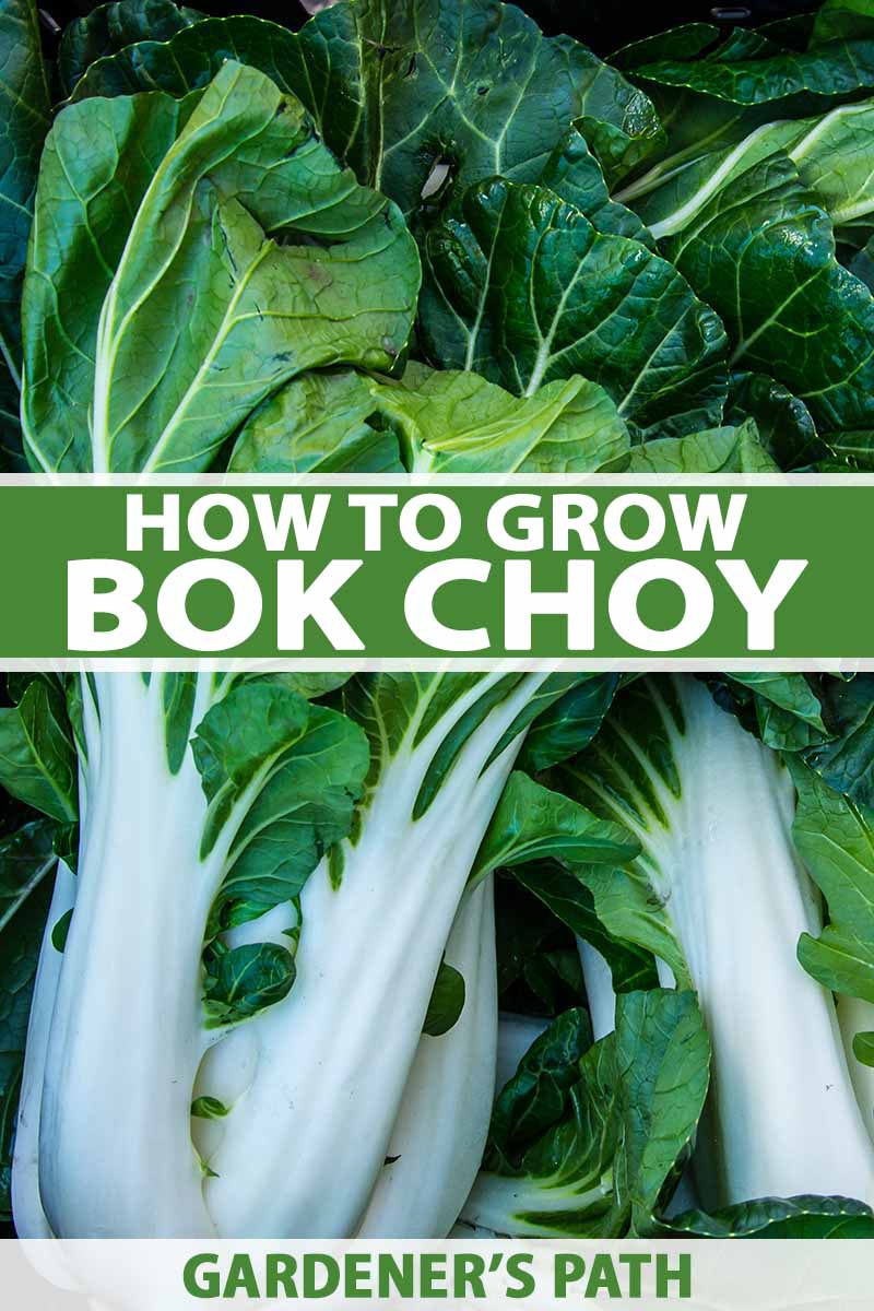 A close up of harvested bok choy with large white stems contrasting with the dark leafy greens. To the center and bottom of the frame is green and white text.