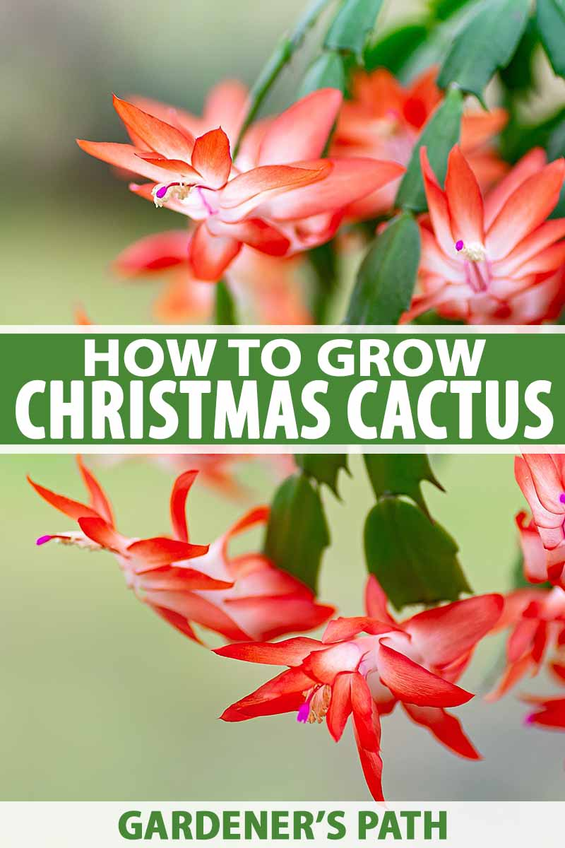Grow and Care for Christmas Cactus