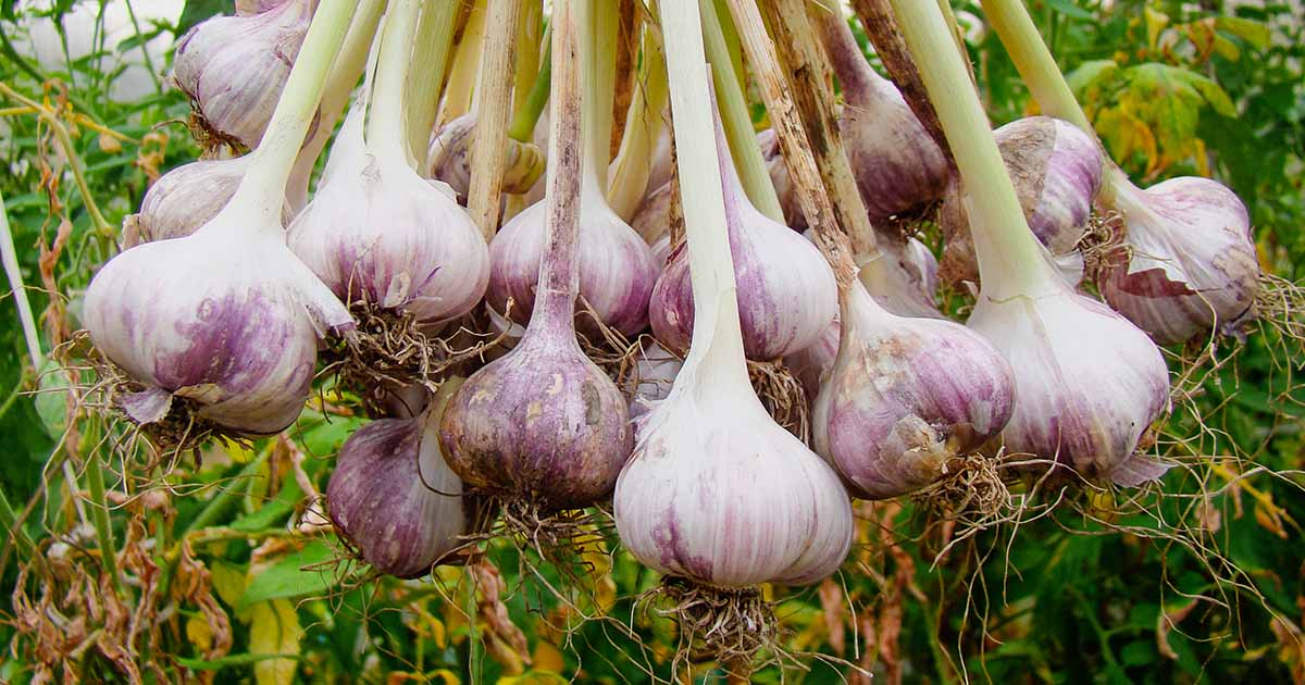 How To Plant And Grow Garlic Gardener