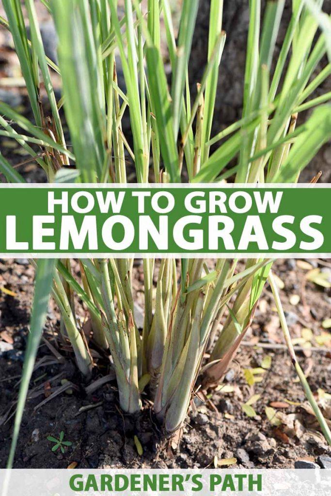 How To Grow Lemongrass Gardener S Path