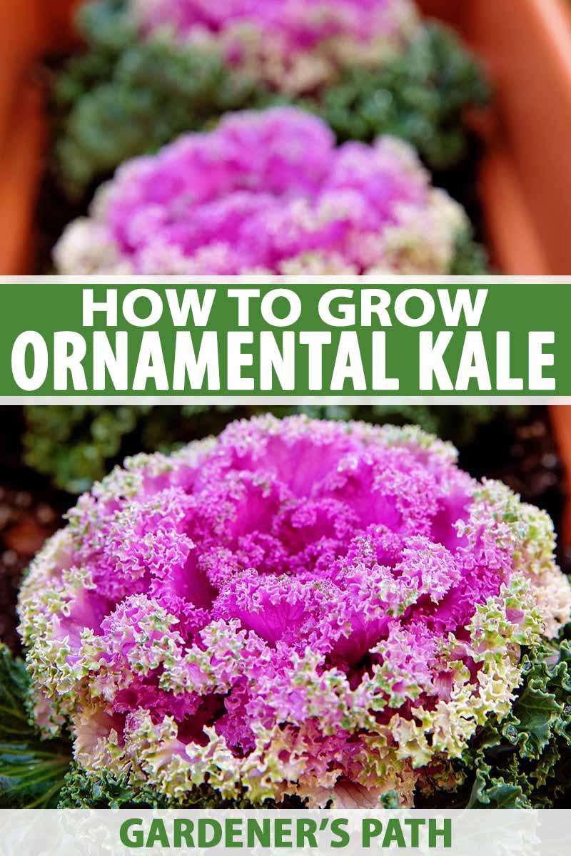 How To Grow Ornamental Flowering Kale Gardener S Path