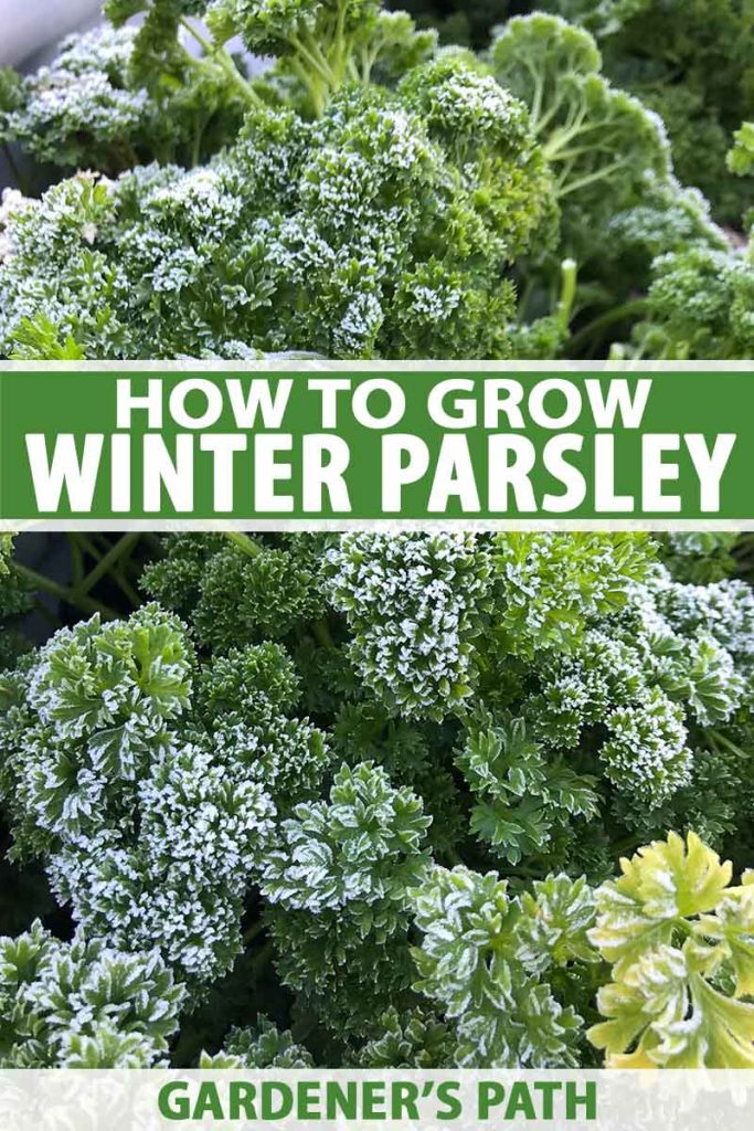 A close up of a parsley plant with a light dusting of frost on the leaves, fading to soft focus in the background. To the center and bottom of the frame is green and white text.