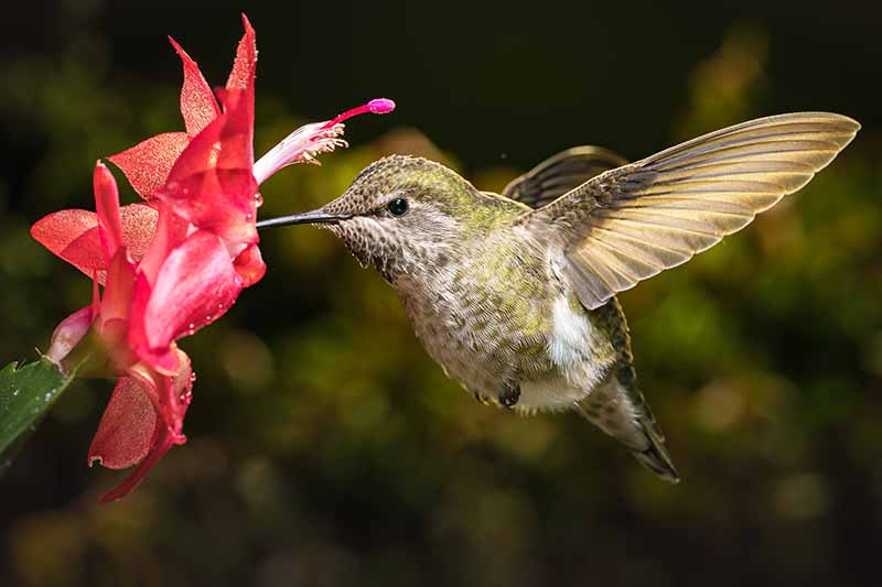 A close up of a hummingbird feeding on a red Christmas cactus flower on a dark soft focus background.