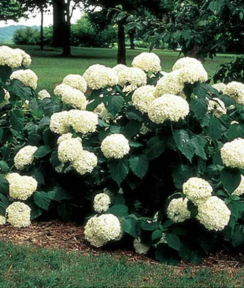 Arborescens Annabelle Hydrangea with white blooms.