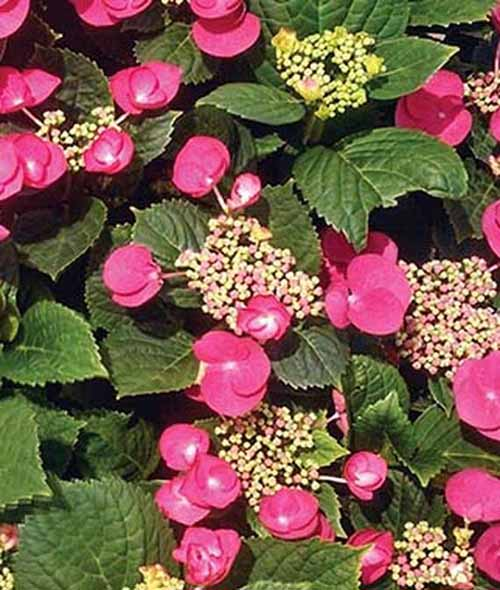 A close up square image of 'Cherry Explosion' Hydrangea growing in the garden with pink flowers.