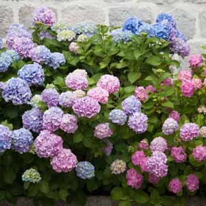 Multicolored hydrangea flowers in bloom with a stone wall background.