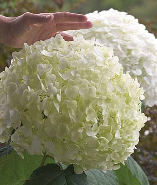 Hydrangea Incrediball with massive clusters of white flowers. Close up shot.
