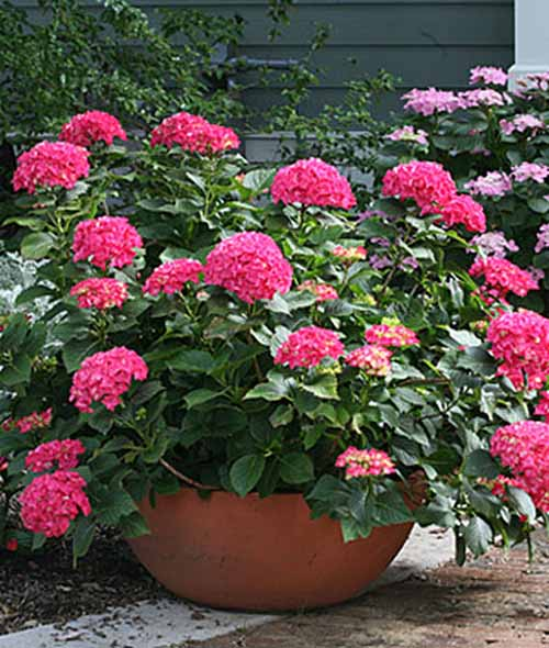 A close up square image of Hydrangea macrophylla, 'Cityline Paris' growing in a terra cotta pot pictured outside a residence.