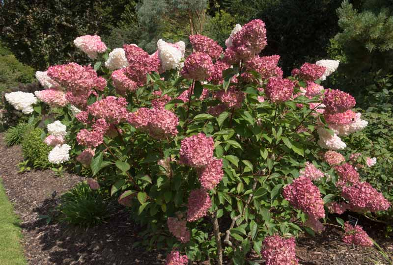 A mature Hydrangea paniculata bush in bloom with white and pink blooms.
