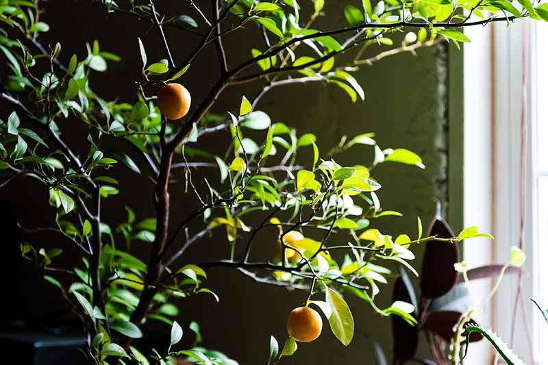 A close up of an indoor citrus tree with a couple of fruits and lots of foliage in a dark spot with sun shining through a window to the right of the frame.