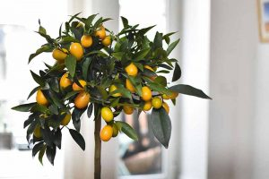 Growing Citrus Indoors: Create a Little Slice of Paradise