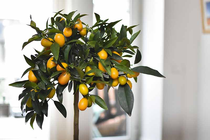 A kumquat tree, heavy with fruit contrasting with the dark green leaves on an indoor soft focus background.