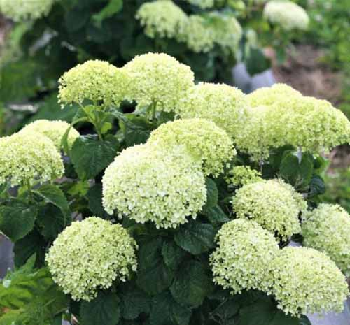 Invincibelle Limetta Hydrangea with large clusters of very light green flowers.