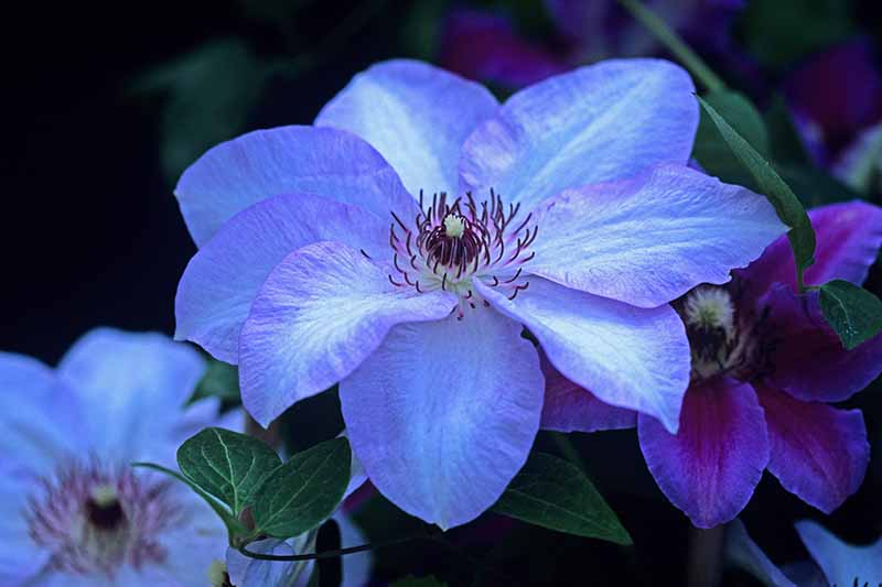 A close up of a bright blue clematis 'Ivan Olsson' variety with dark filaments in the center against a dark soft focus background.
