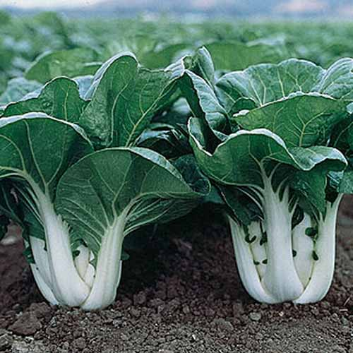 A close up of the 'Joi Choi' variety of bok choy, two plants with thick white stems contrasting with the dark green leaves, growing in rich, dark soil.