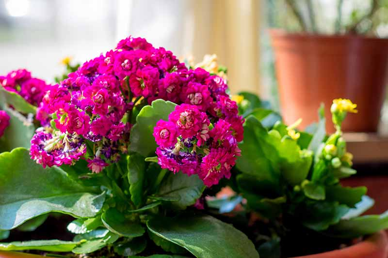 A close up of a kalanchoe plant, with dramatic pink flowers and succulent leaves on a table with yellow flowers. In the background is a terra cotta pot in soft focus.