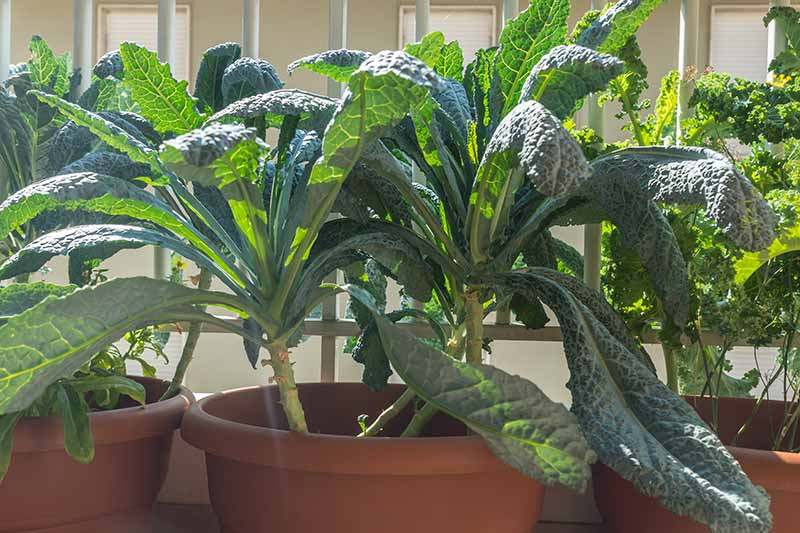 A close up picture of Tuscan kale growing in a terra cotta pot on a balcony in bright sunshine. To the left of the frame is a further pot and to the right a curly variety is growing, also in a pot. The background is white railings and a house.