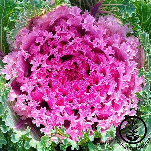 A top down close up of 'Kamome' variety of flowering kale, with a vivid purple center contrasting with green outer leaves. To the bottom right of the frame is a black circular logo and text.