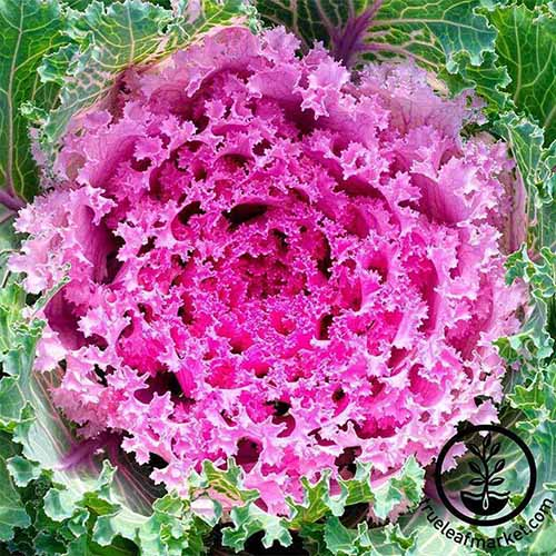 A top down close up of a purple flowering kale plant. The outer leaves are green with white veins and the center is vivid purple and pink. To the bottom left of the frame is a black circular logo with text.
