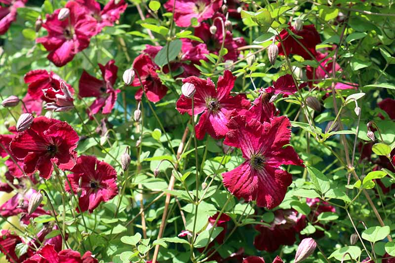 A clematis vine 'Kermesina' cultivar with bright red flowers contrasting with the green leaves in bright sunshine and fading into soft focus in the background.