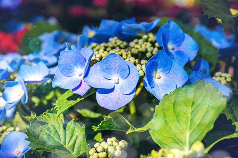 A close up horizontal image of the blue flowers from the lace cap hydrangea growing in the garden pictured in light sunshine.