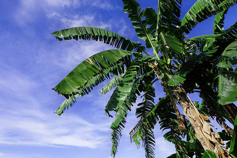 Tall bananas with large green leaves against a blue sky background.