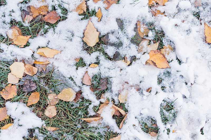A top down close up of a lawn covered with autumn leaves and a dusting of snow over the top. The brown leaves contrast with the green dormant grass and white snow.