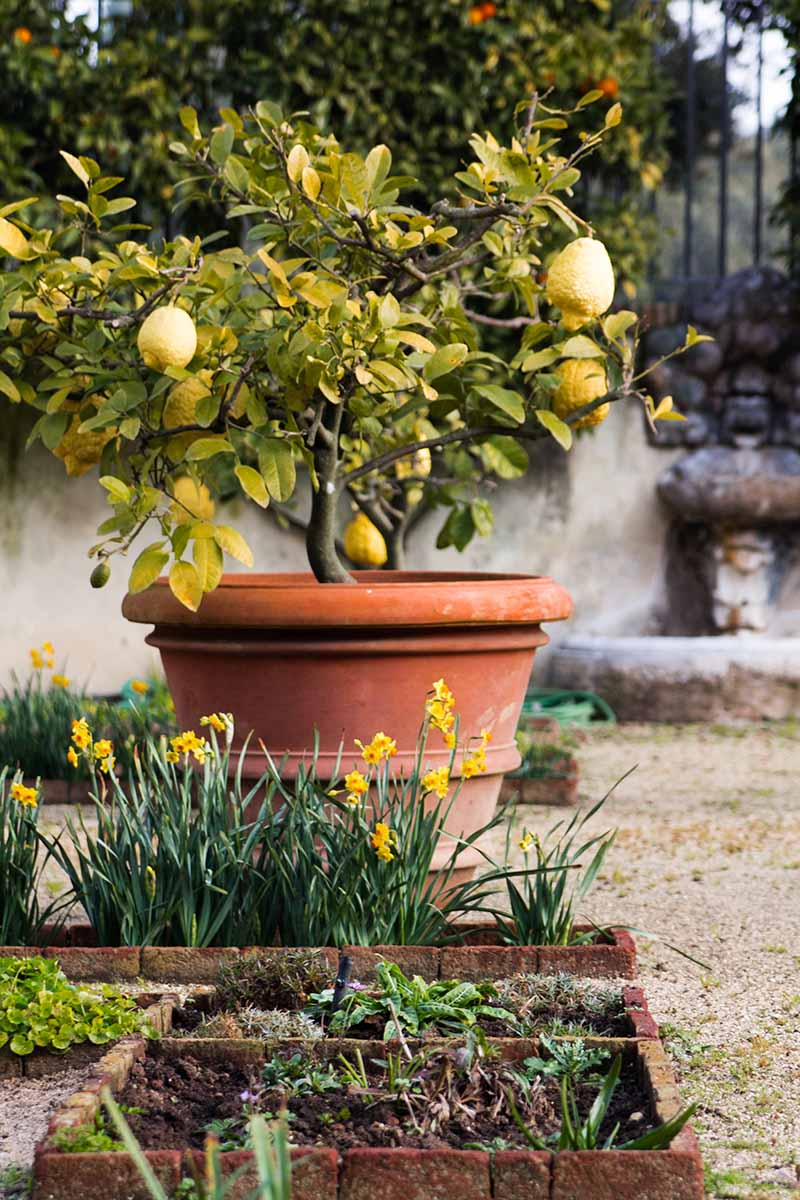 A patio garden scene showing a lemon tree with a few fruits in a large terra cotta pot. In the bottom of the frame are small planters with yellow flowers. In the background is a stone wall covered in ivy.