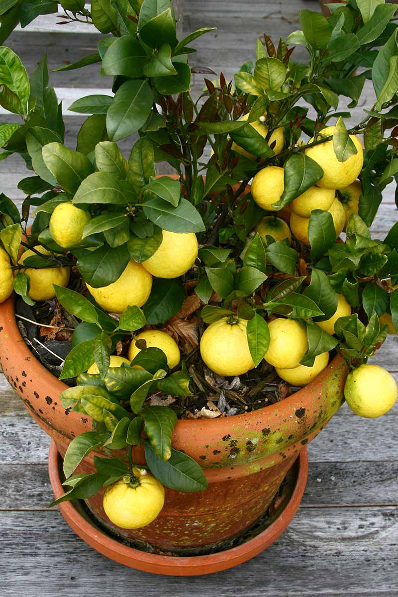 A vertical picture of a lemon tree, heavy with fruit in a terra cotta container on a wooden surface.